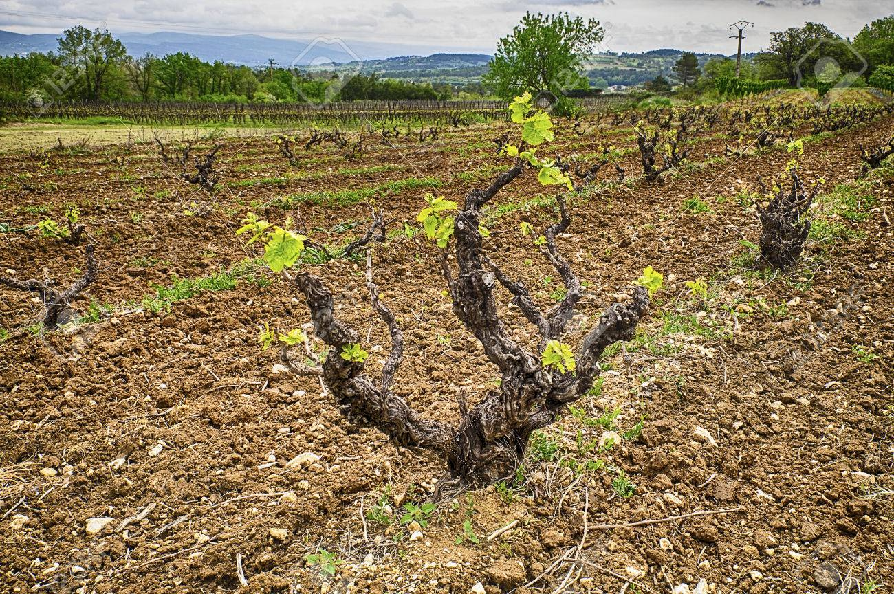 A Grapevine Just Starting To Send Out Shoots In The Spring In