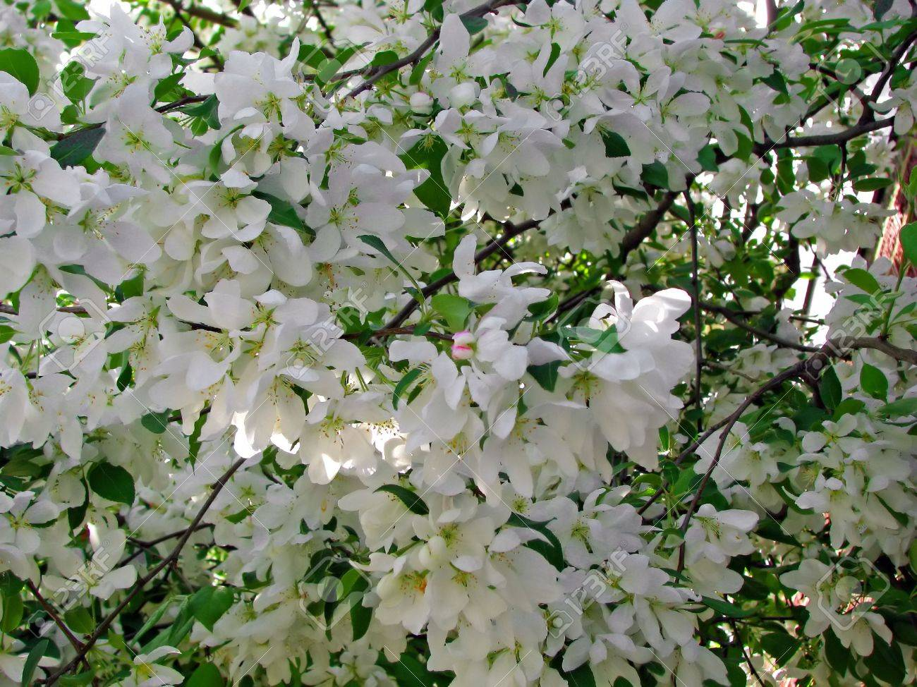 Beautiful Photo Of Flowering Crab Tree In Bloom Stock Photo, Picture ...
