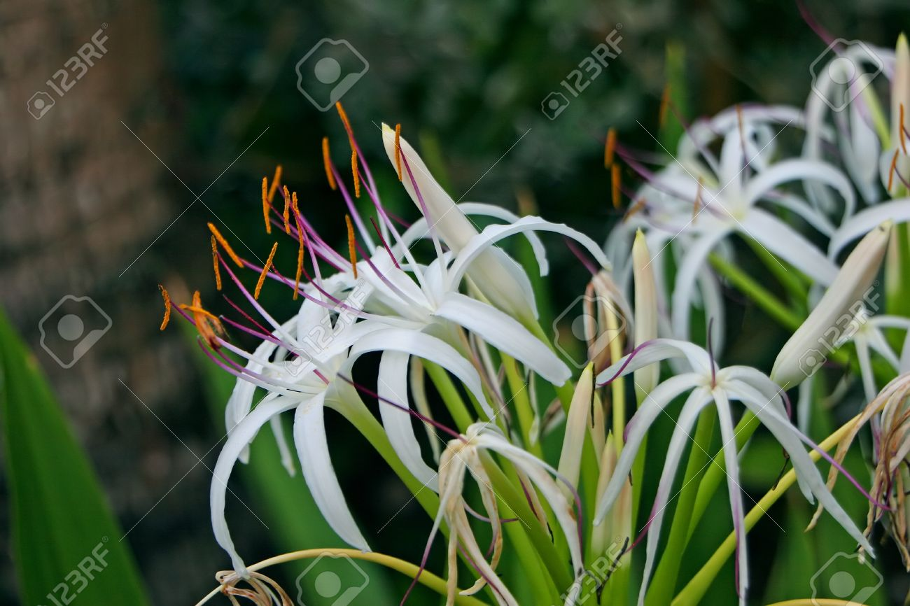 Spider lily flower blooming in white color stock photo picture and spider lily flower blooming in white color stock photo 13031278 izmirmasajfo