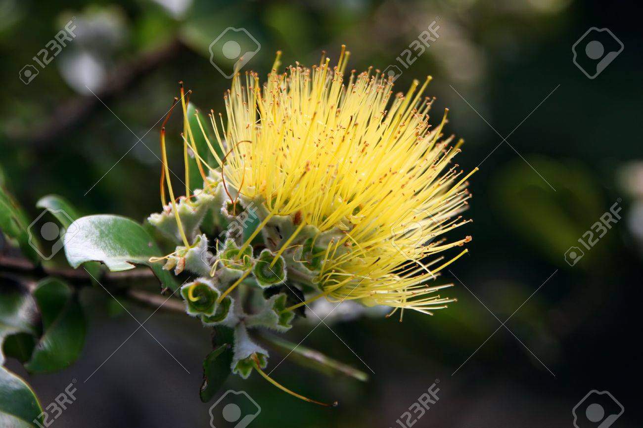 Beautiful hawaiian yellow ohia lehua flower in bloom stock photo beautiful hawaiian yellow ohia lehua flower in bloom stock photo 13749278 izmirmasajfo Gallery