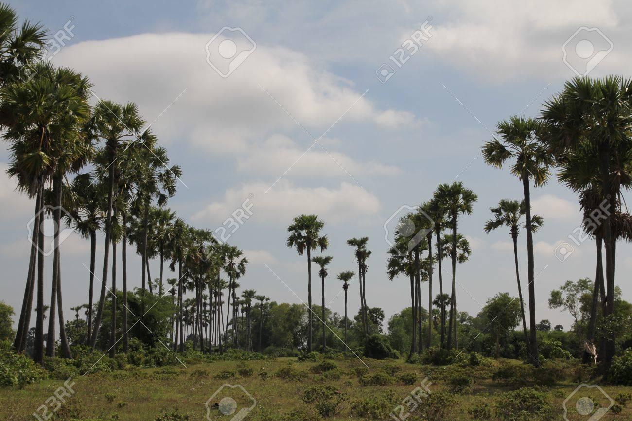 Palm Trees near Phnom Tamao zoo in Takeo province of Cambodia - 19564639