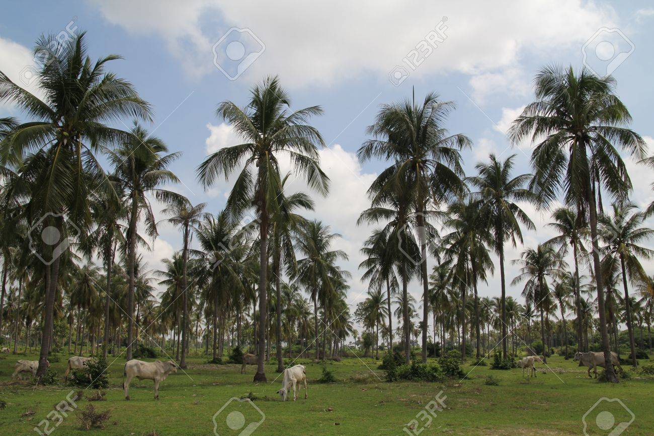 Coconut Trees under blue sky near Phnom Tamao zoo in Takeo province of Cambodia - 19564640