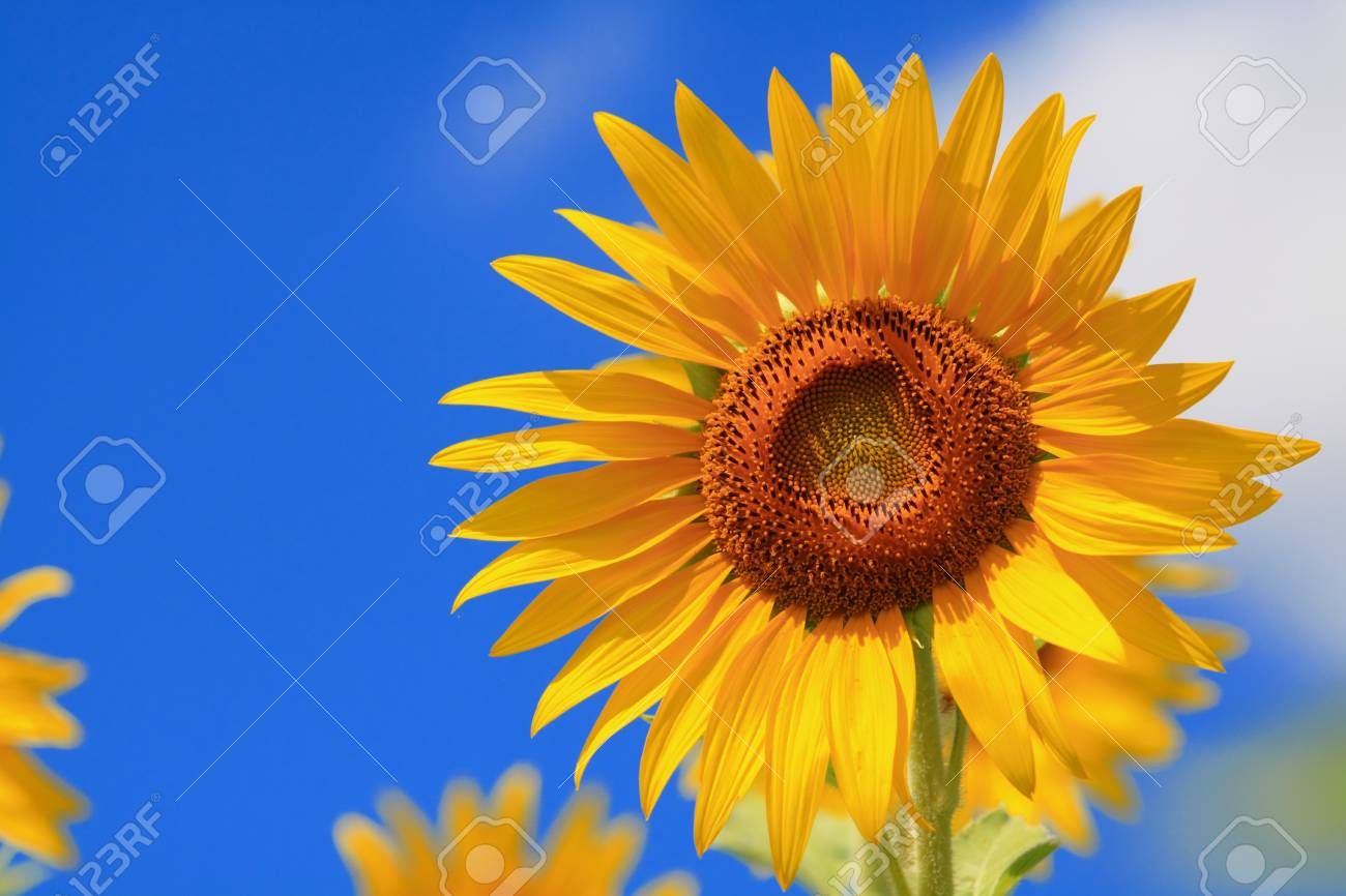 sunflower Stock Photo - 7583694
