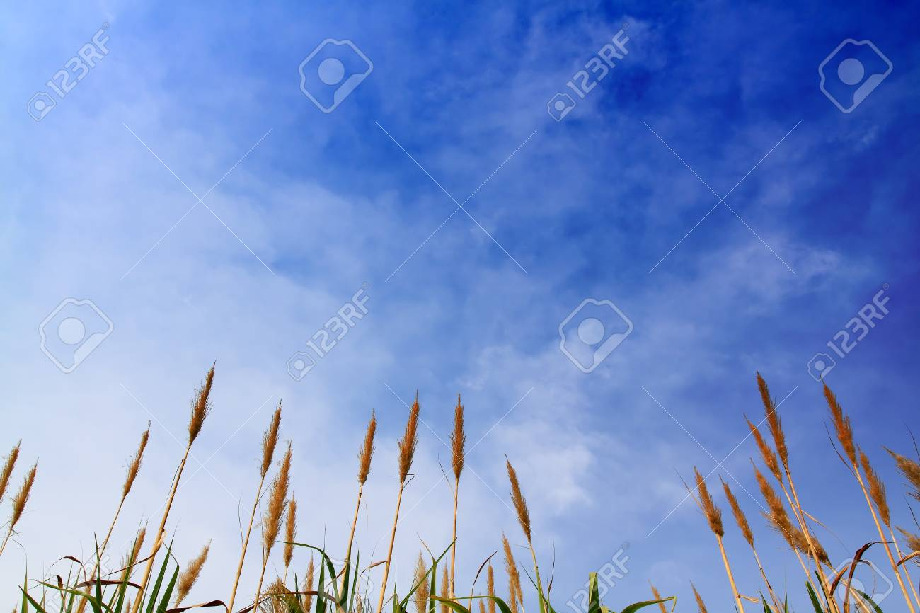 sugar cane with blue sky Stock Photo - 8664213