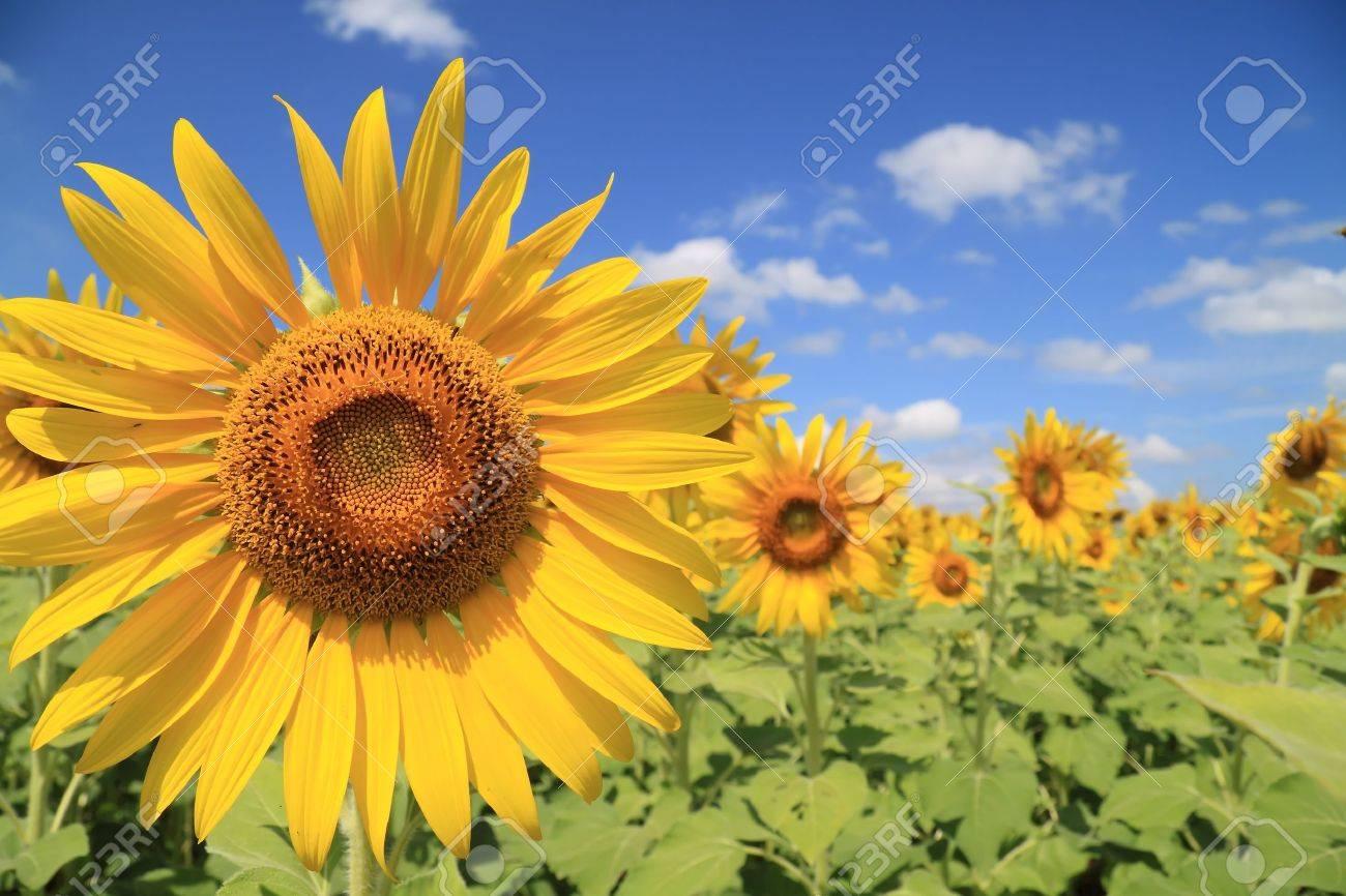 Beautiful sunflower field Stock Photo - 9179825