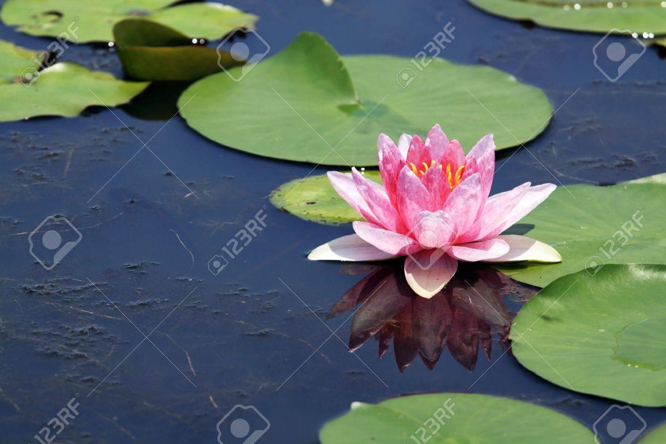 Pink Lotus (Water Lily) Stock Photo - 9521644
