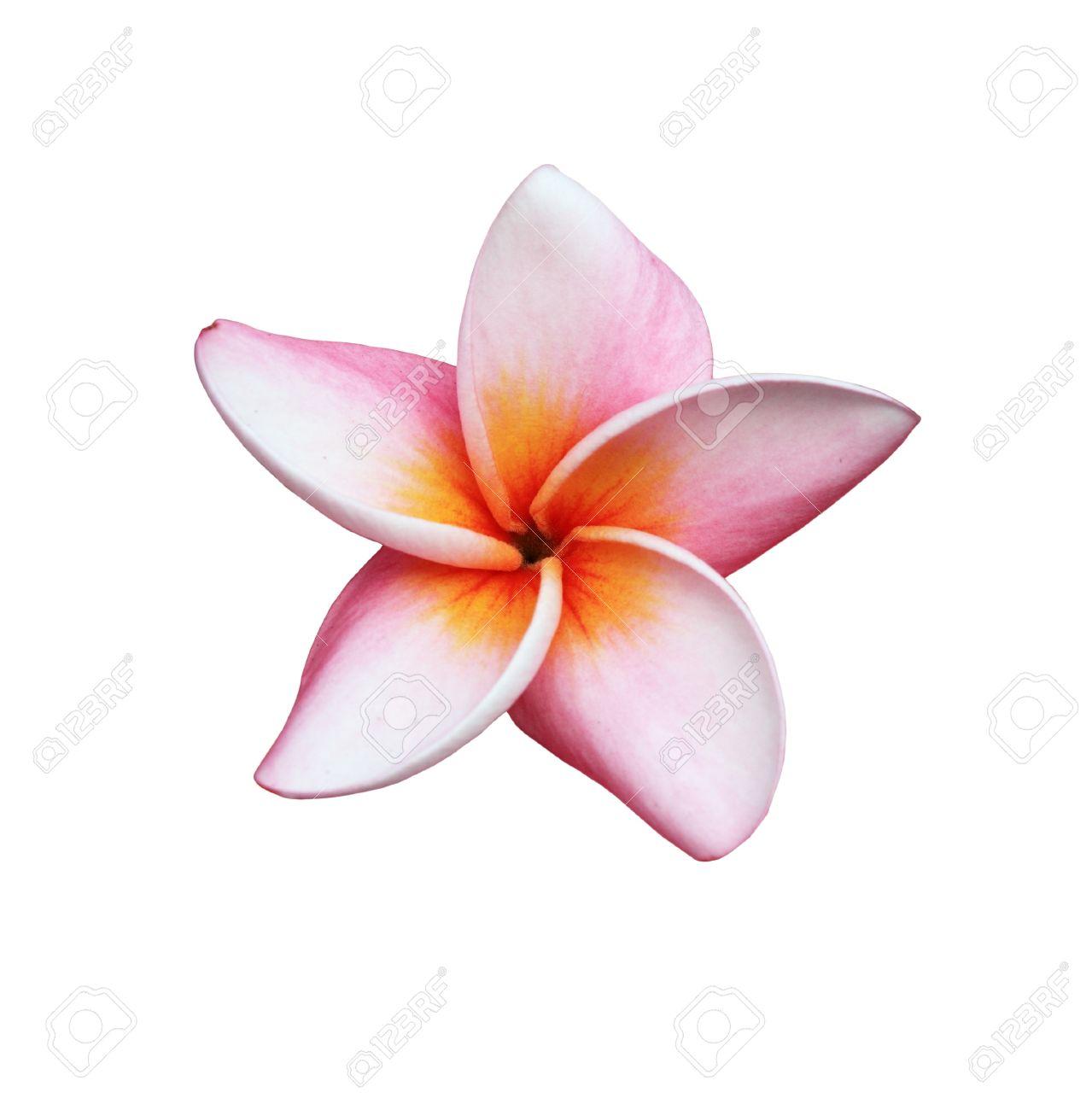 fleur frangipanier Fleur de frangipanier ou Plumeria