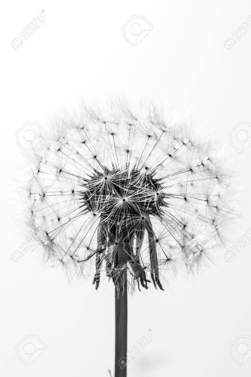 Noir Et Blanc Pres D Une Belle Fleur De Pissenlit Banque D Images Et