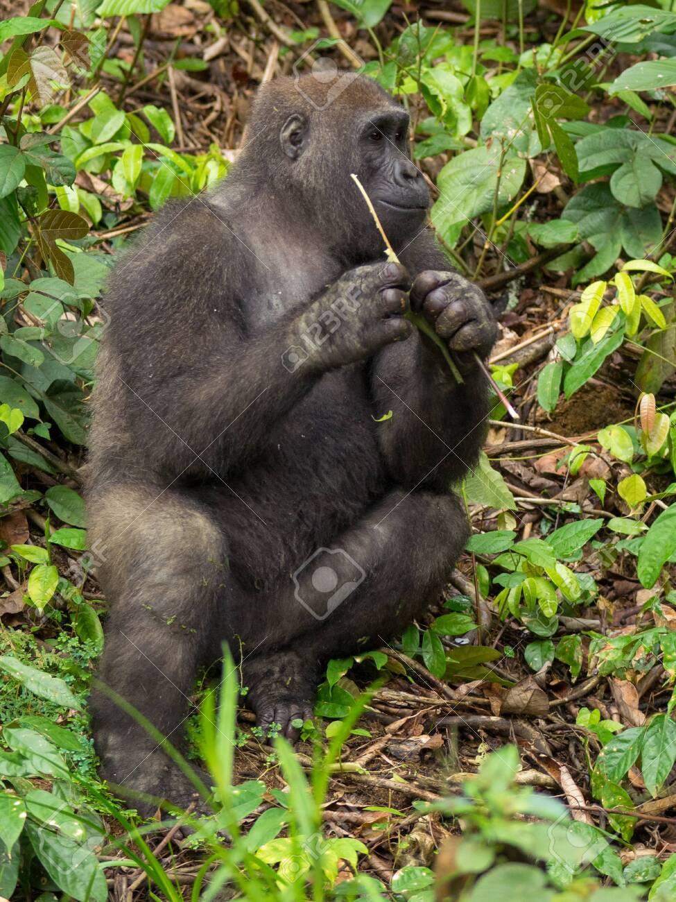 Gorilla in Gabon Endangered eastern gorilla in the beauty of african jungle (Gorilla gorilla) - 127159887