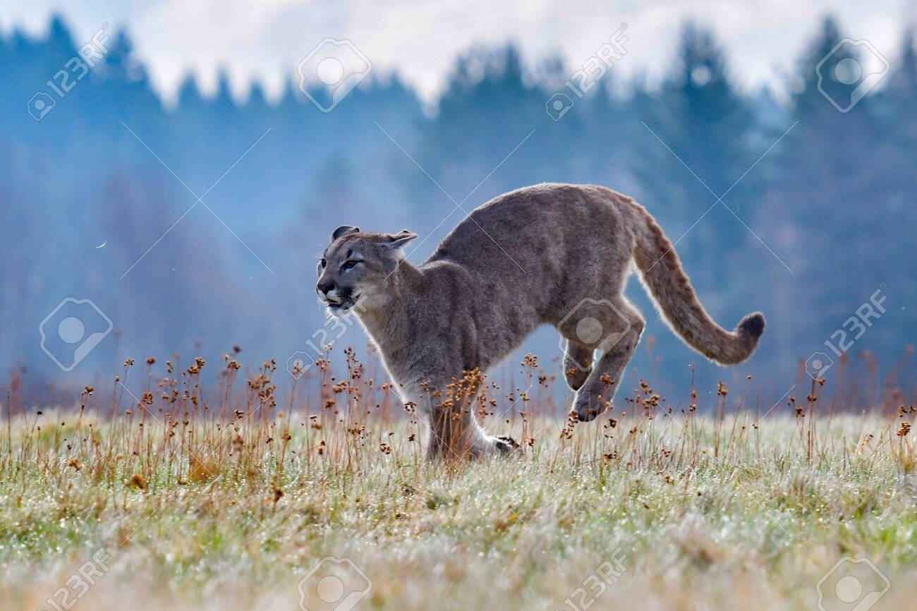 Cougar (Puma concolor), also commonly known as the mountain lion, puma, panther, or catamount. is the greatest of any large wild terrestrial mammal in the western hemisphere - 128460129