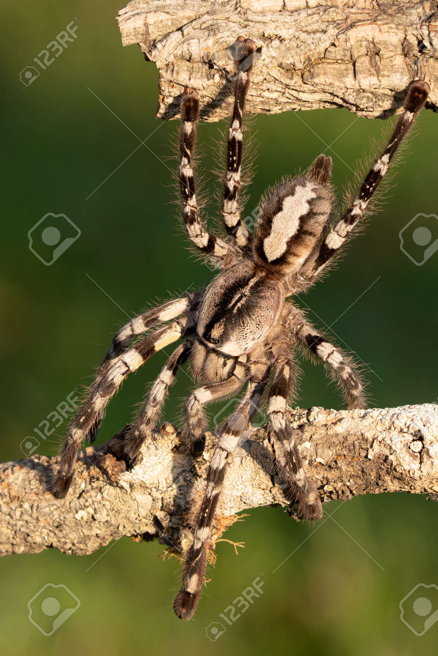 Poecilotheria metallica is an Old World species of tarantula. It is the only blue species of the genus Poecilotheria. Like others in its genus it exhibits an intricate fractal-like pattern - 169027888