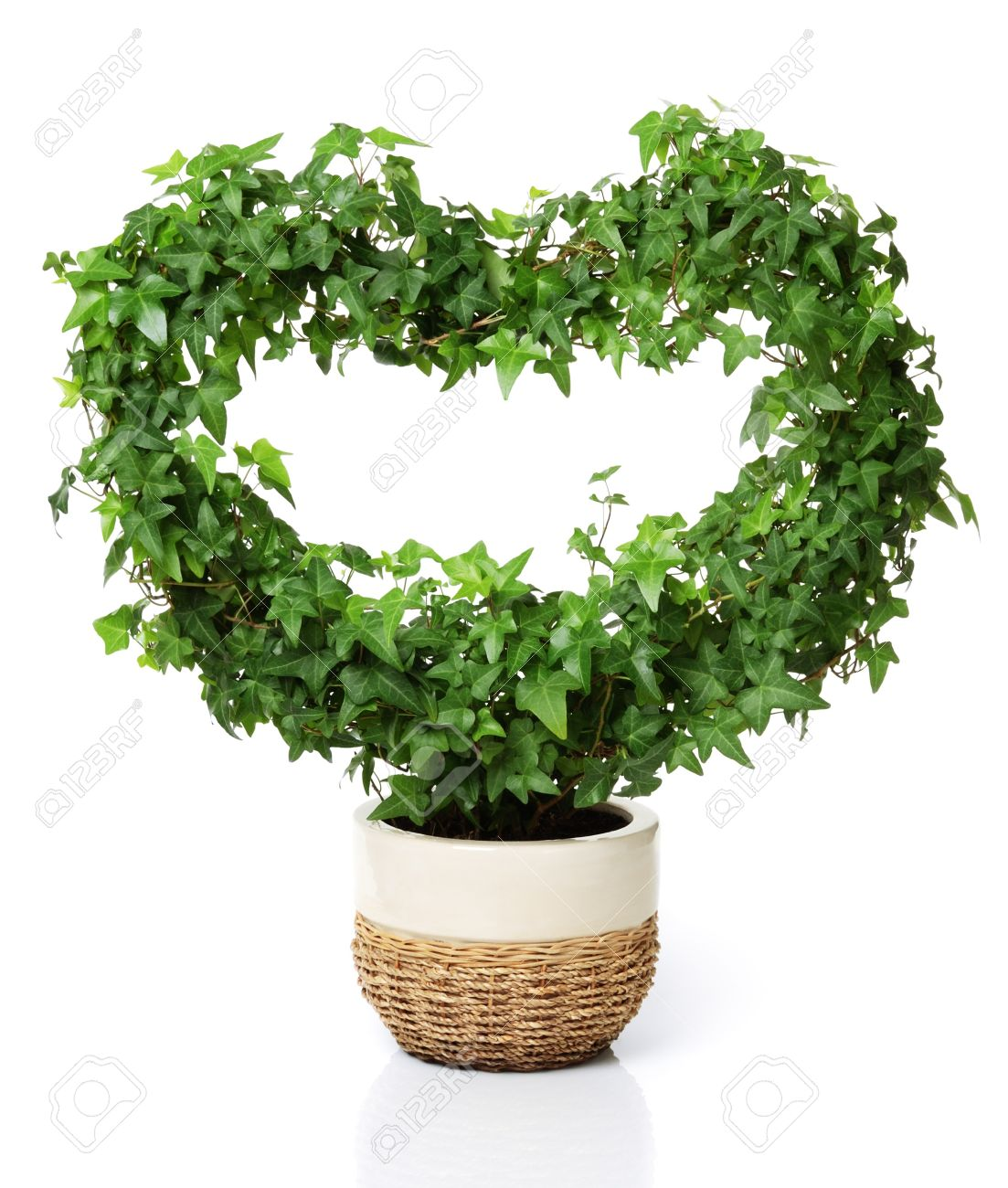 Heart shaped ivy in a flowerpot. Isolated on white. Stock Photo - 8916924
