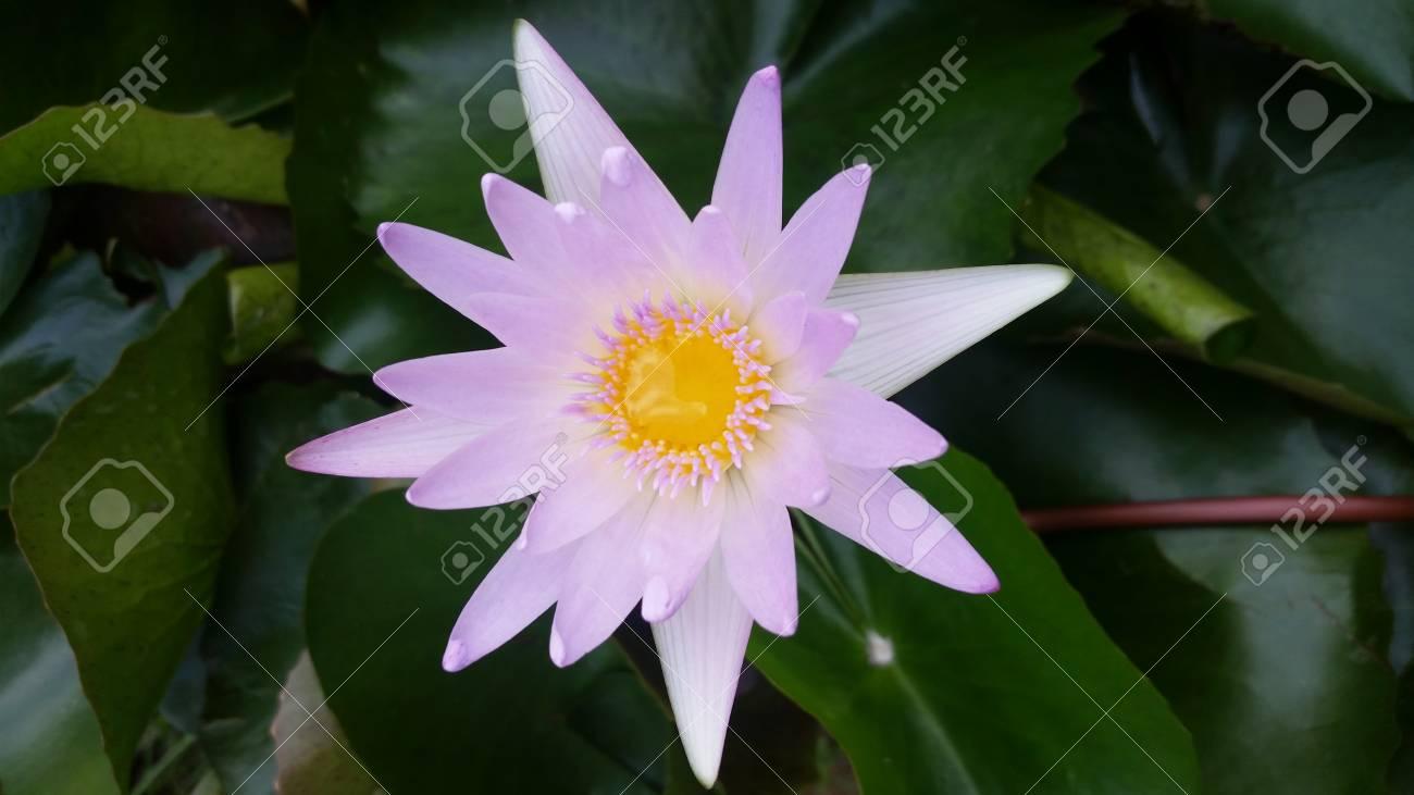 Pink lotus flower beautiful lotus stock photo picture and royalty pink lotus flower beautiful lotus stock photo 66332212 izmirmasajfo