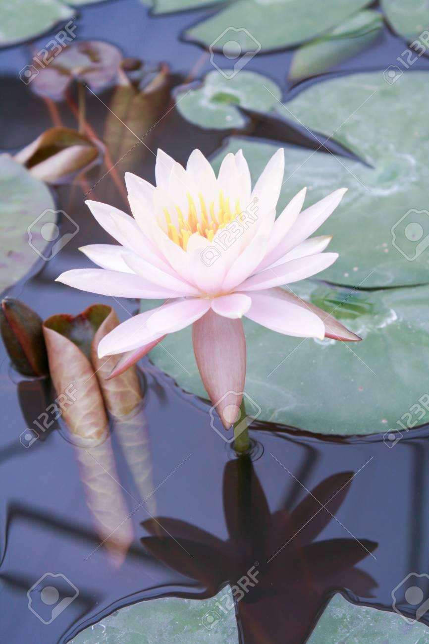 Beautiful Lotus Flower Is The Symbol Of The Buddha Thailand