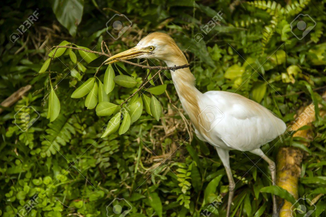 Cattle egret bringing a branch for building a nest Stock Photo - 16554488