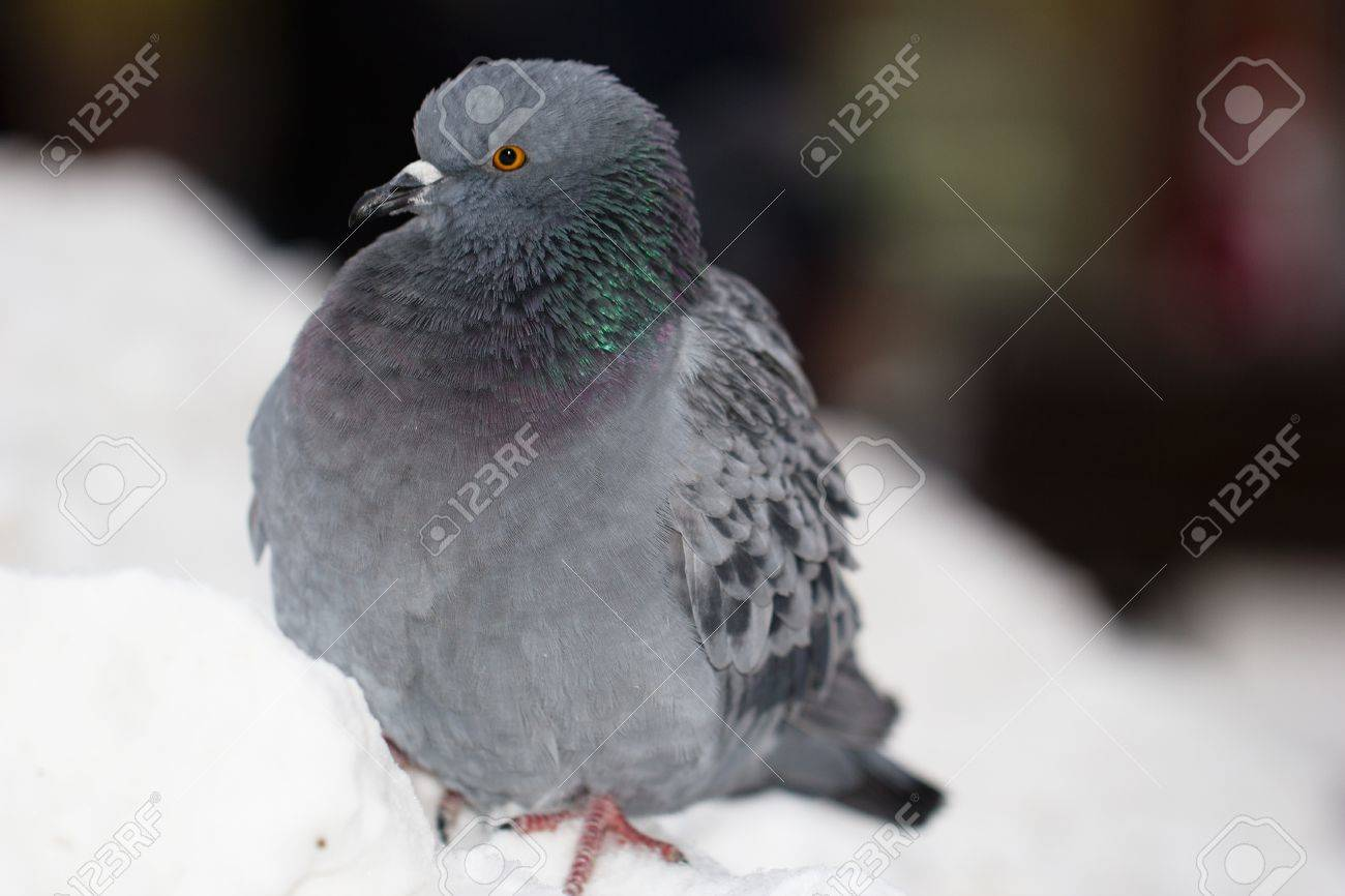 Single pigeon sittin on the snow in the city Stock Photo - 19449605