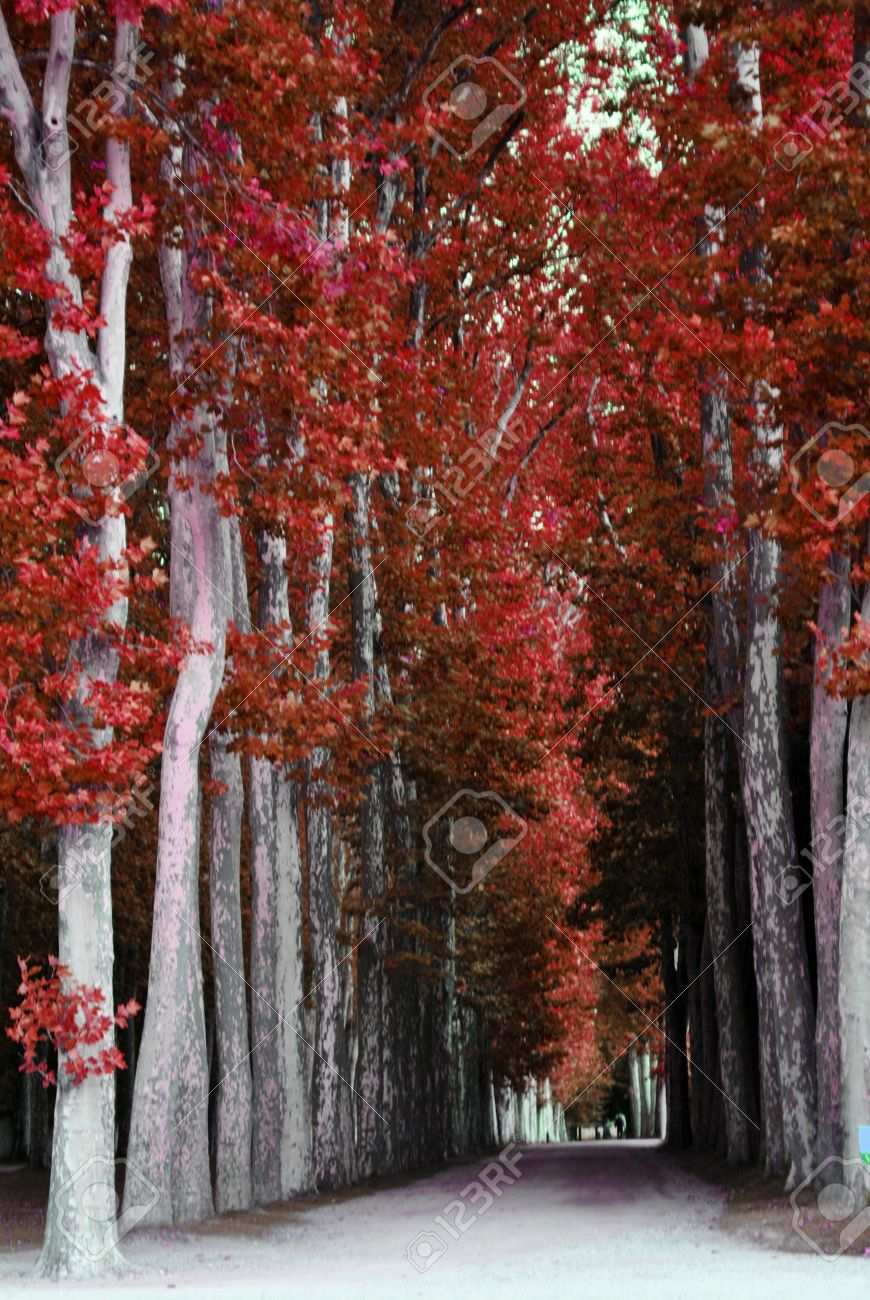 avenue of trees with red leaves stock photo picture and royalty