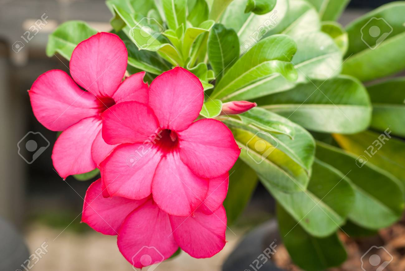 Adenium obesum, Desert Rose, Impala Lily, Mock Azalea Stock Photo - 26379901