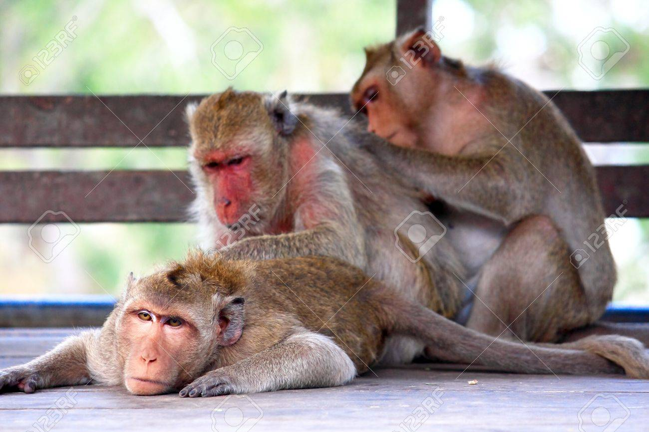 family of monkeys in phetchaburi province thailand stock photo