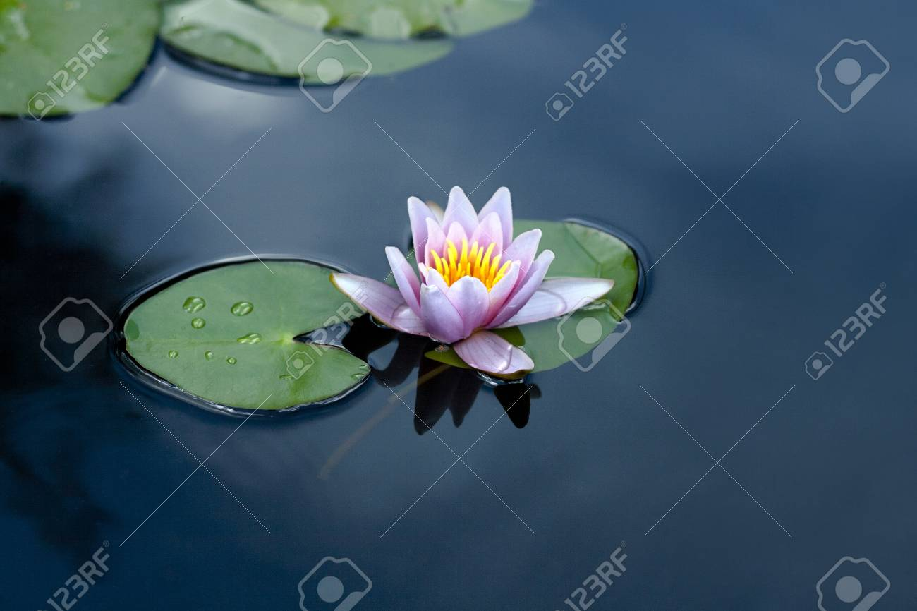 water lily on the lake - 101223724