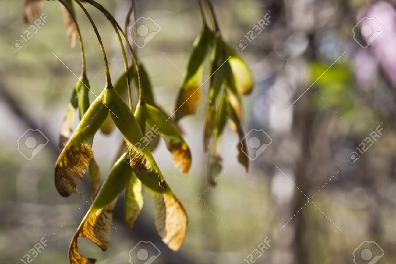 Maple seeds in beams of the autumn sun Stock Photo - 15983977
