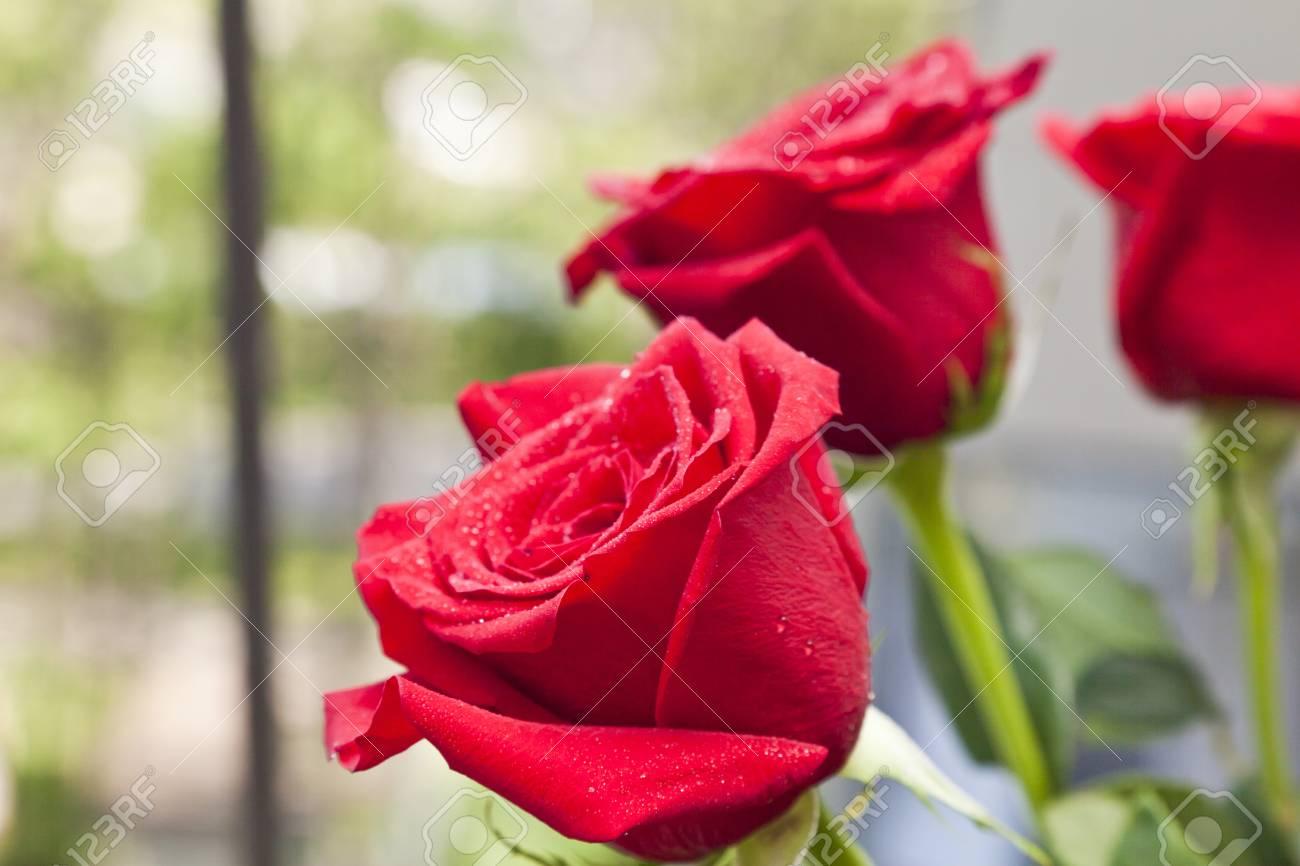 Rosas Rojas En Gotas De Rocío De Pie En Una Terraza Por La Mañana Temprano