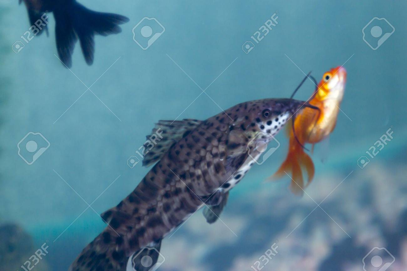 Fishes in an aquarium float in green water Stock Photo - 27051859