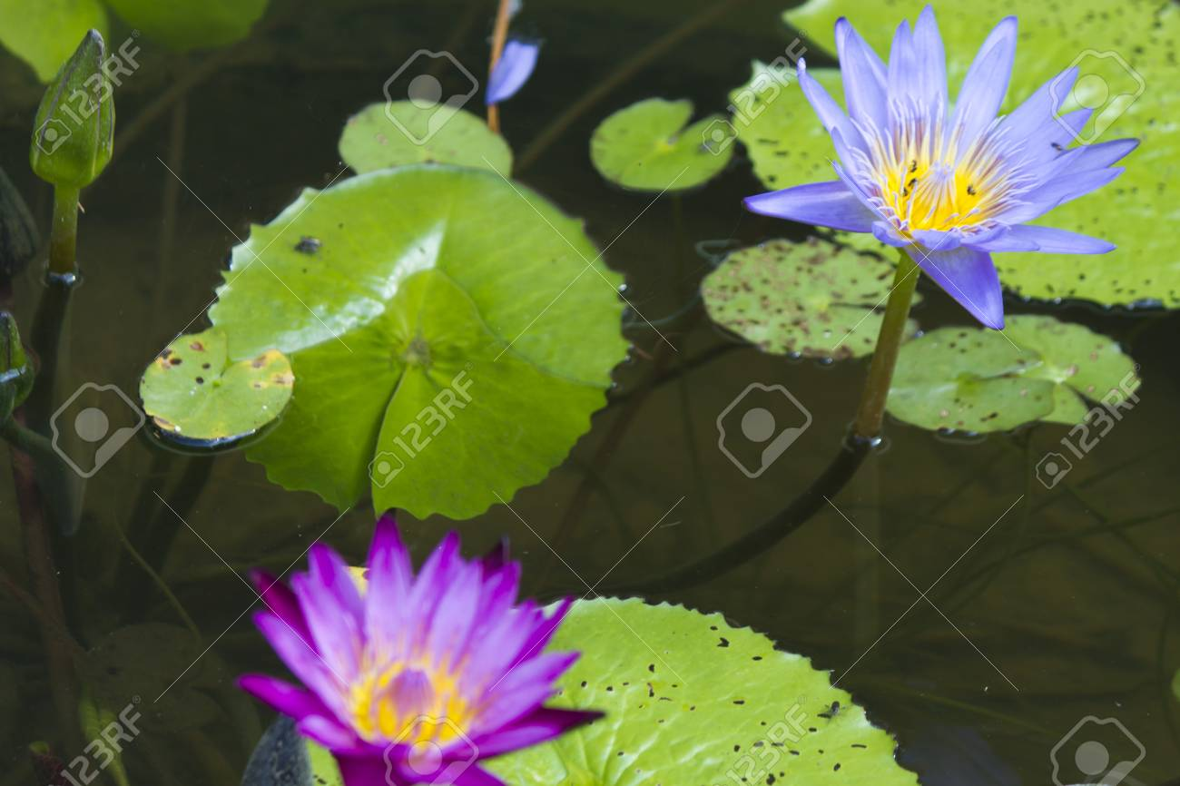Water lilies in a pond blossom in the different flowers on pleasure stock photo water lilies in a pond blossom in the different flowers on pleasure to people izmirmasajfo
