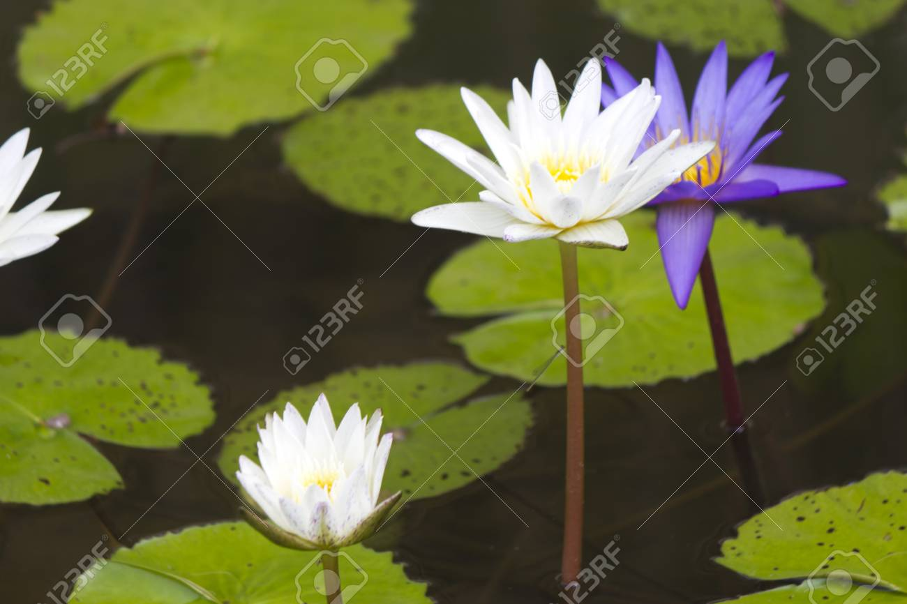 Water Lilies In A Pond Blossom In The Different Flowers On Pleasure
