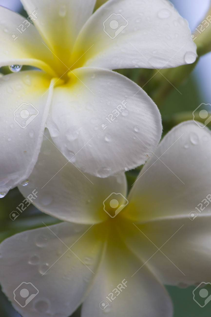 Beautiful white tropical flowers after a heavy rain stock photo beautiful white tropical flowers after a heavy rain stock photo 72290541 mightylinksfo