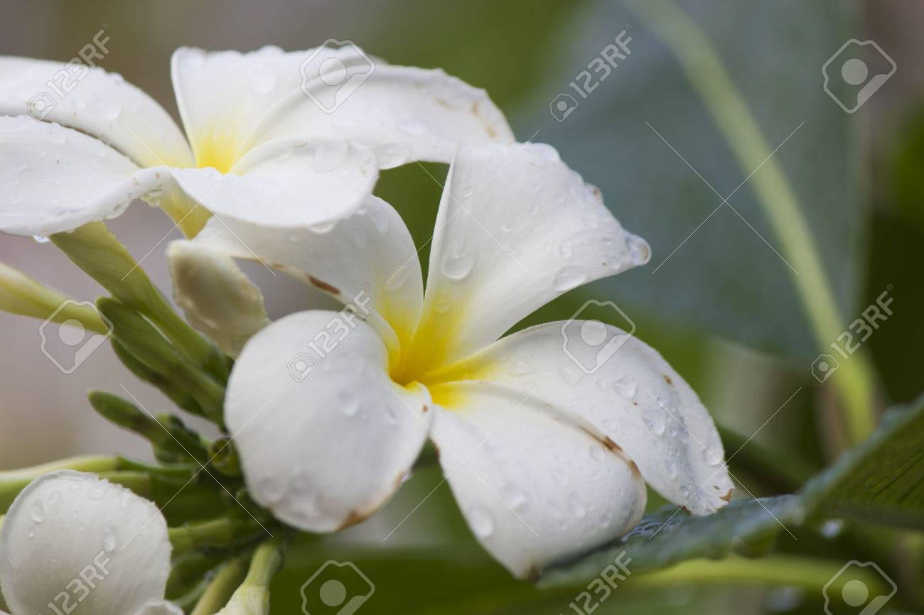 Beautiful White Tropical Flowers After A Heavy Rain Stock Photo