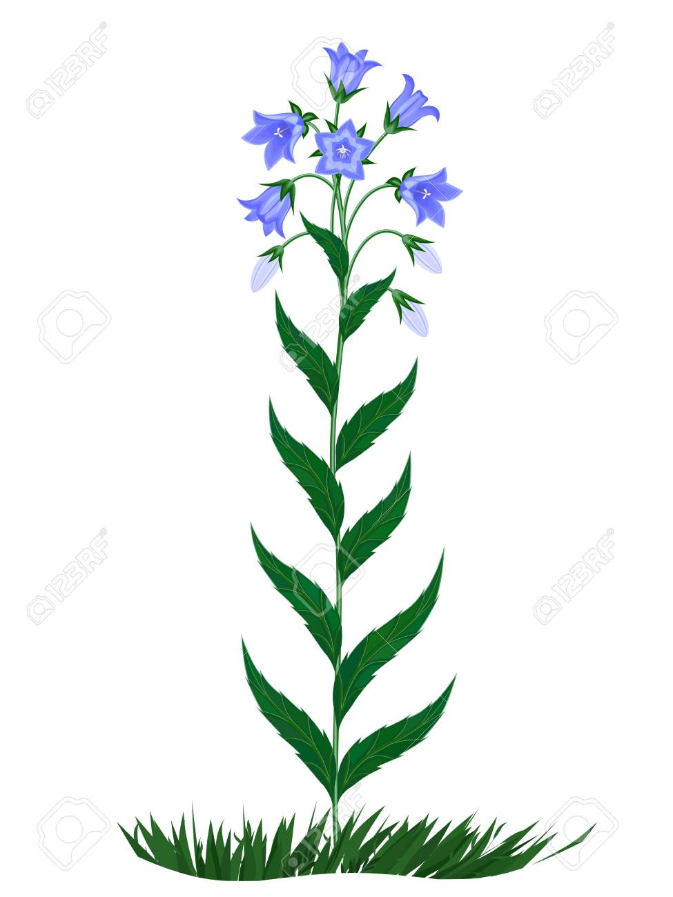 The image of flowers of family campanula Stock Vector - 6969131