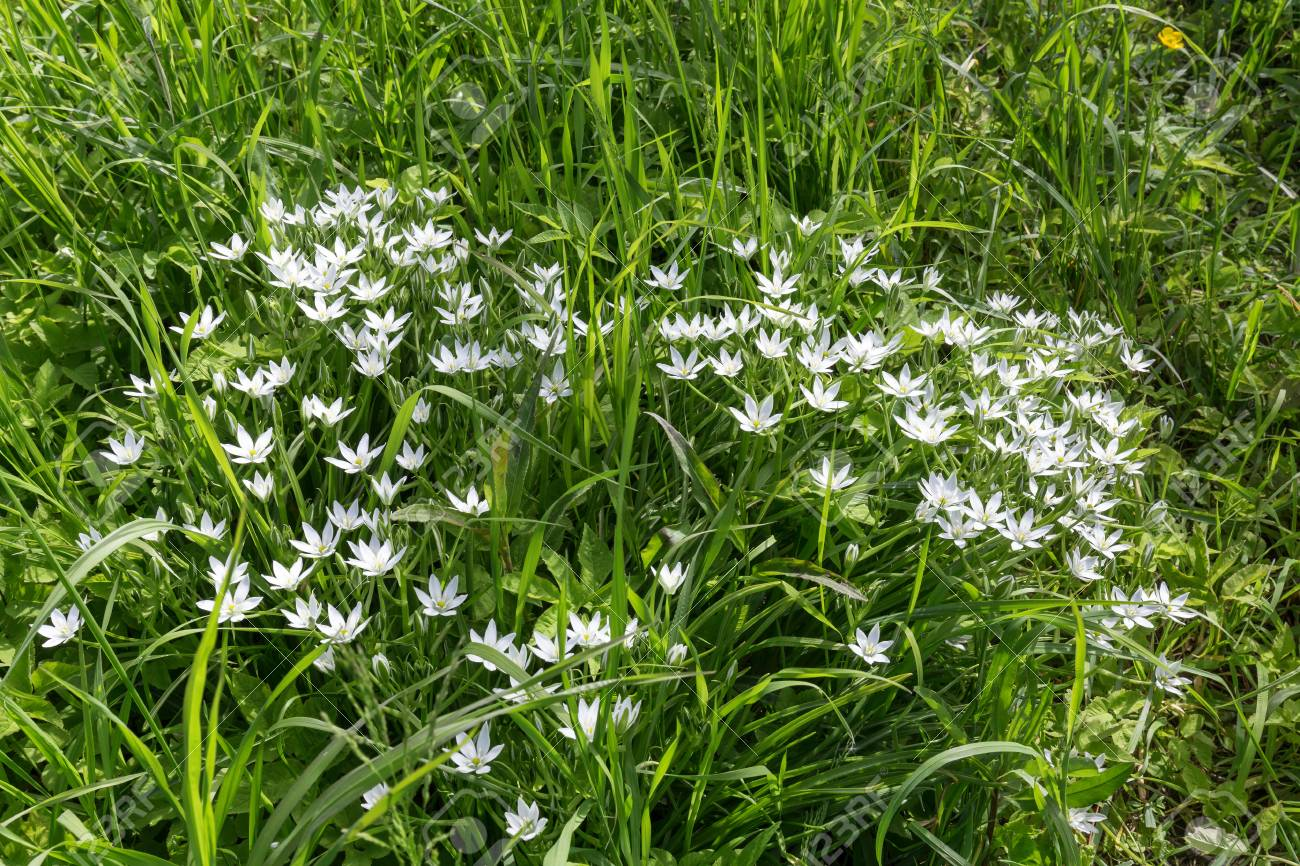 White Flowers In Green Grass Summer Snowflake On A Sunny Summer