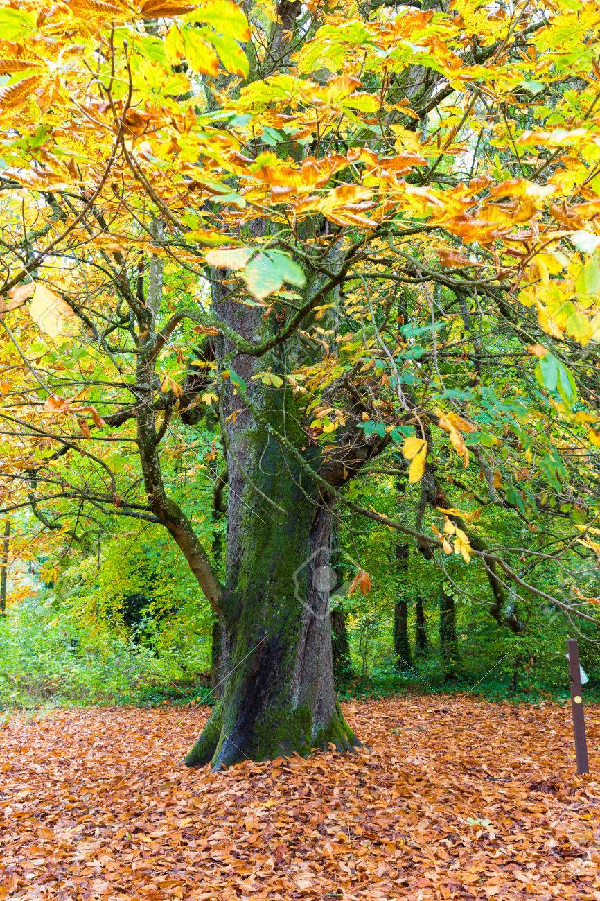 Big Tree With Leaves Changing Color In Fall Stock Photo, Picture And ...