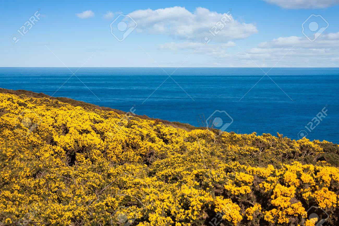 Yellow flowers on howth cliffs in ireland against a cloudy deep stock photo yellow flowers on howth cliffs in ireland against a cloudy deep blue sky mightylinksfo Images