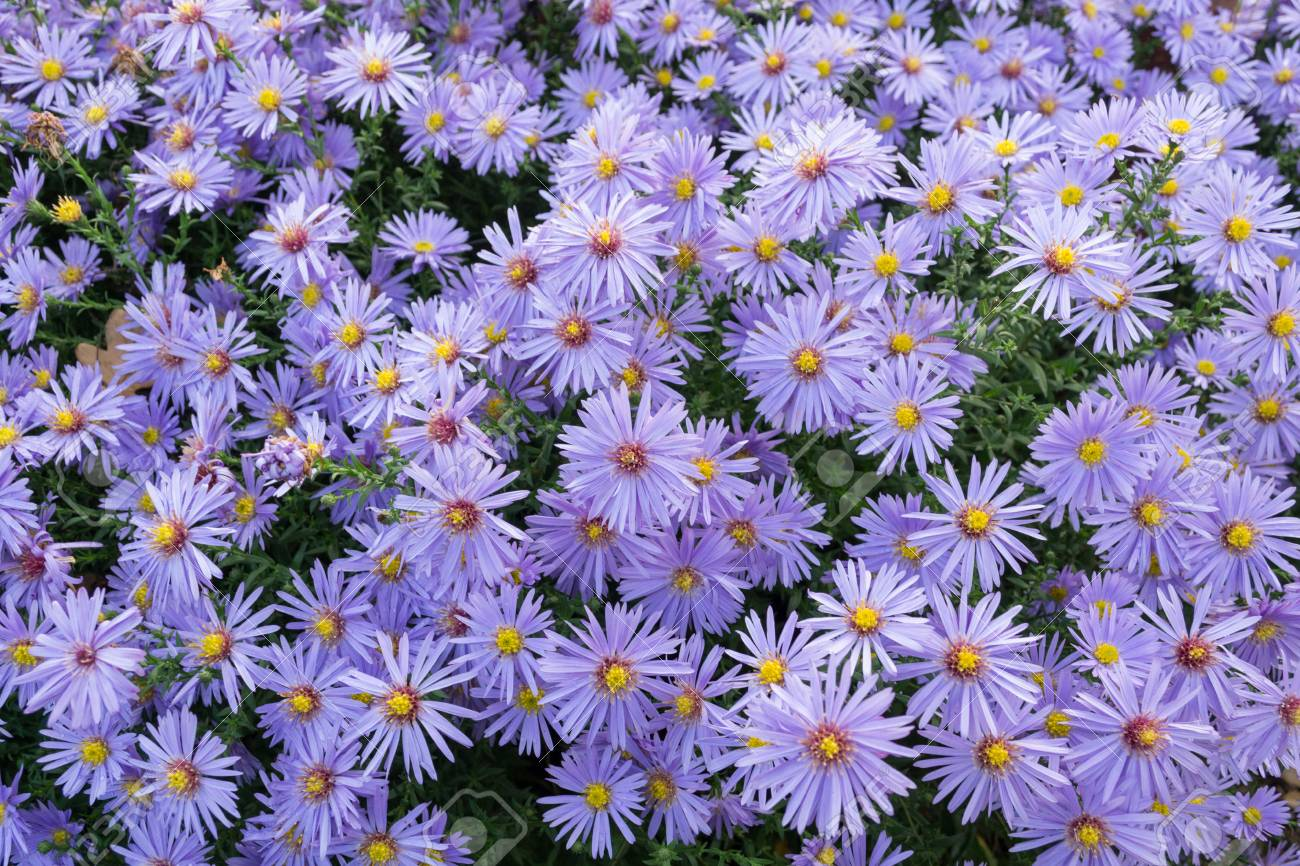 Flowering Asters Perennial Autumn Flowers Stock Photo Picture And