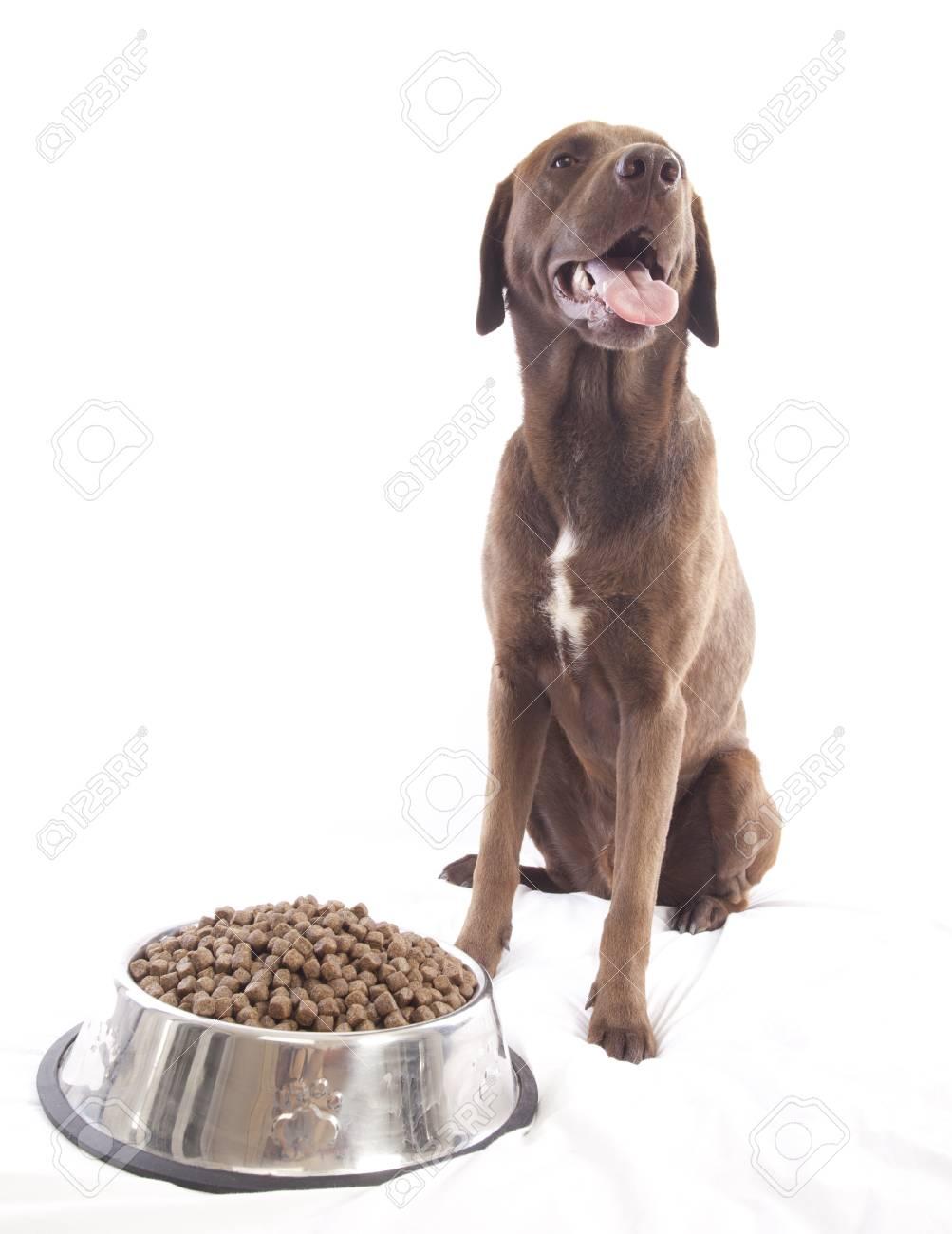 labrador retriever on white background Stock Photo - 14387363