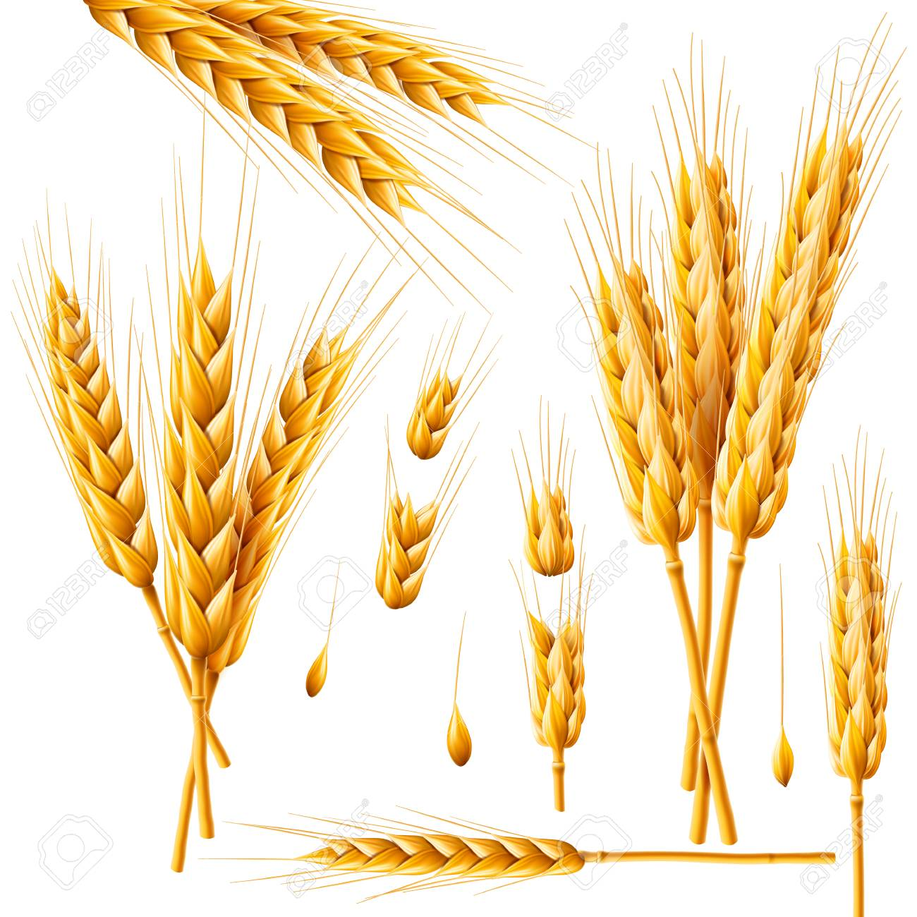 Realistic bunch of wheat, oats or barley isolated on white background. Vector set of wheat ears. Grains of cereals. Harvest, agriculture or bakery theme. Natural ingredient element. 3d illustration. - 97278300