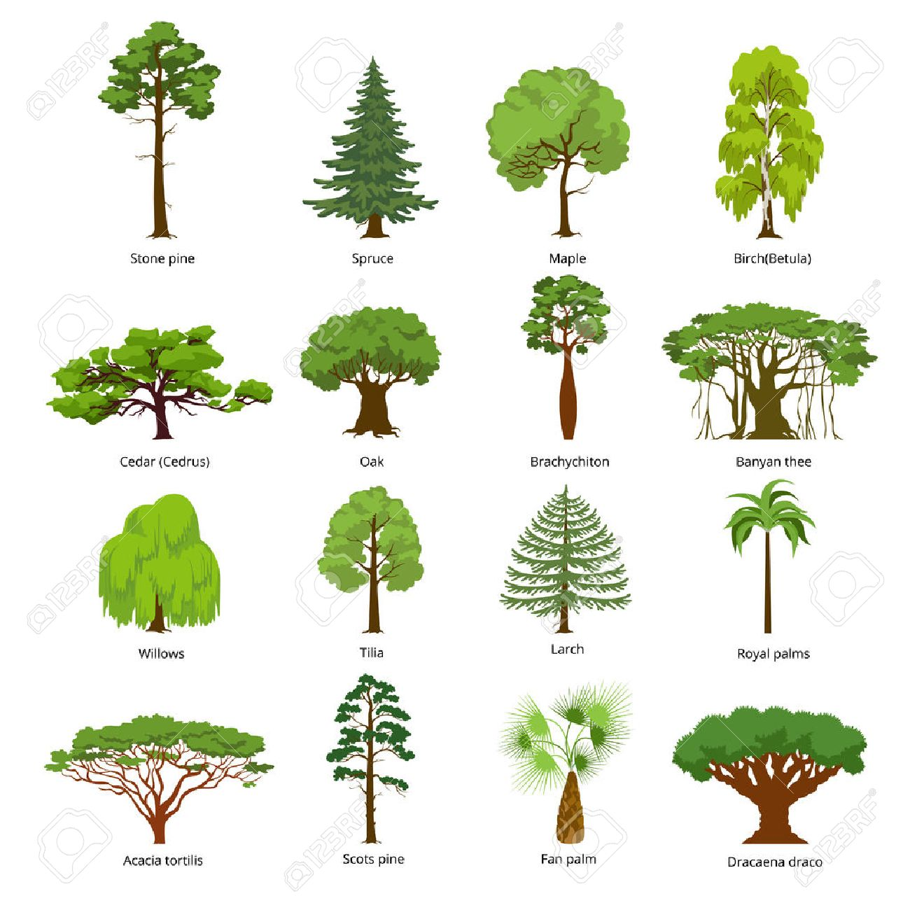 Flat green trees vector illustration set. Stone pine, spruce, maple, birch, cedar, oak, brachychiton, banyan, willow, larch, palm, scots pine forest tree icons. Nature concept. - 72686931