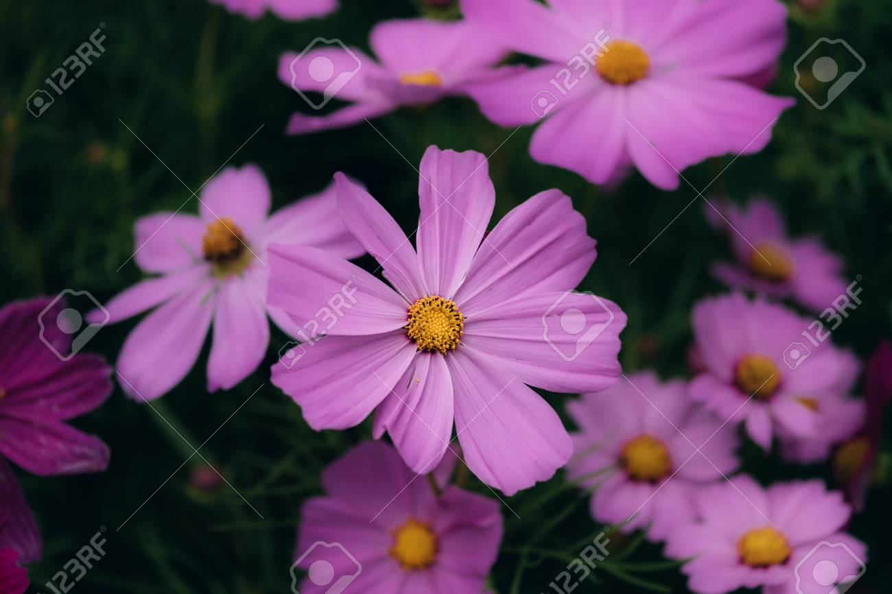 Purple Cosmos Flowers Blooming Background Stock Photo Picture And