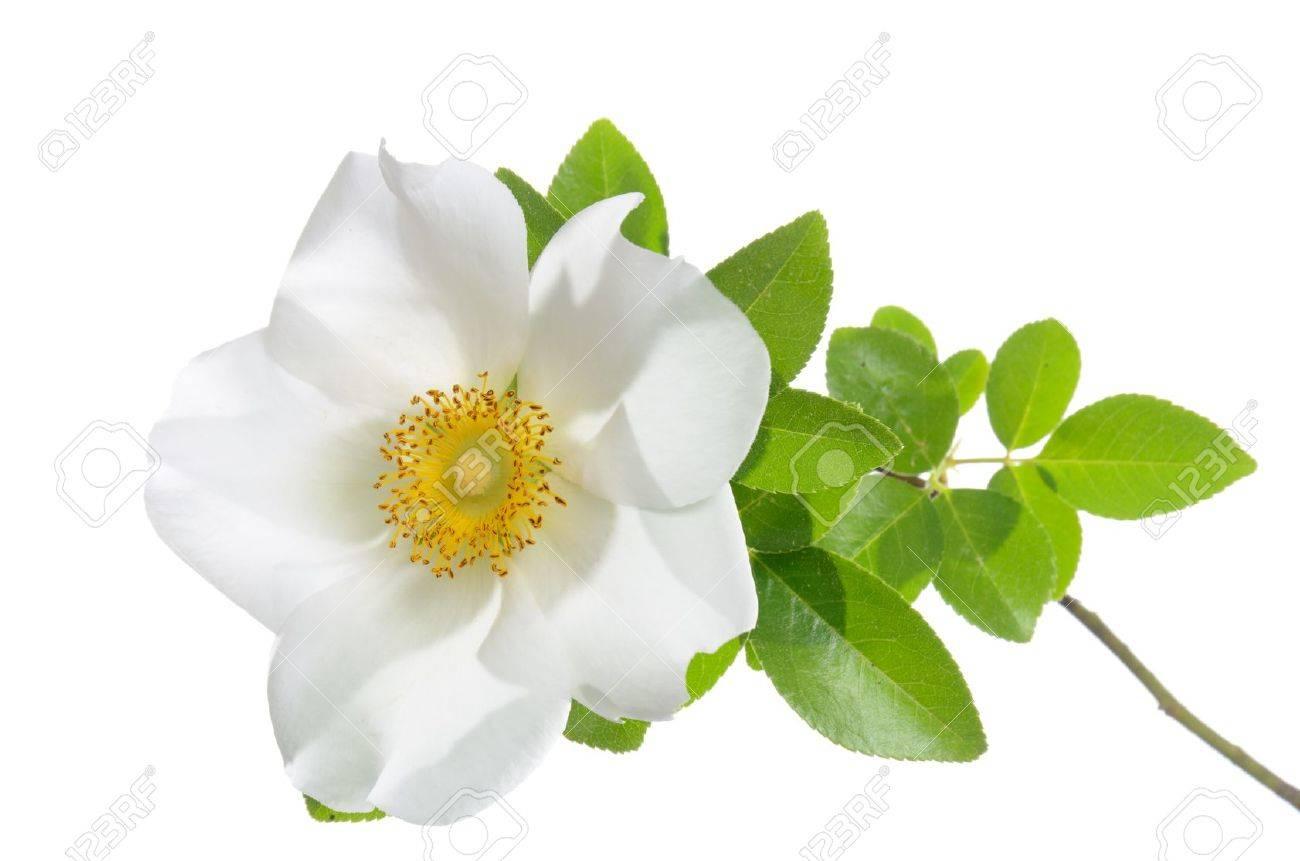 Rosa laevigata  Cherokee Rose  isolated on white background Stock Photo - 13112731
