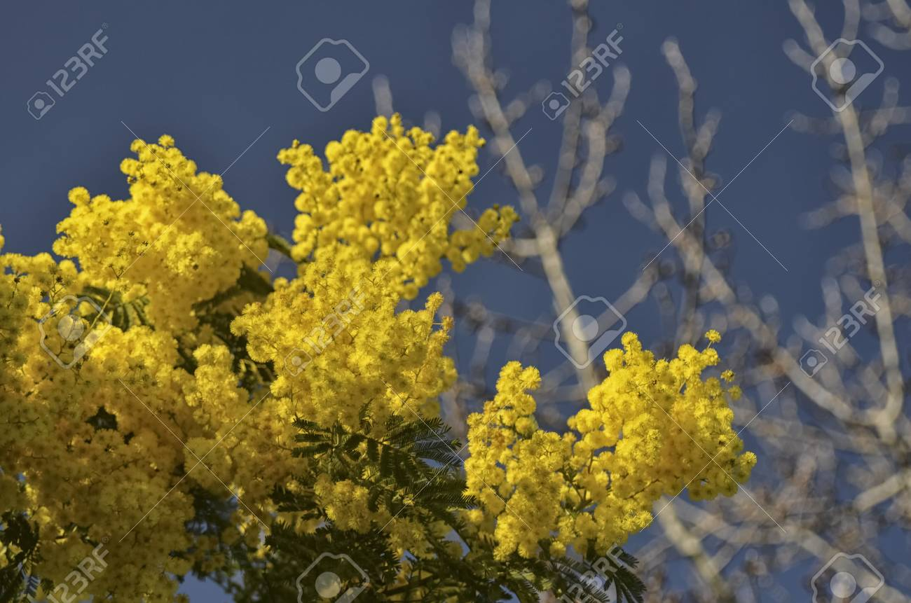 View Of A Freshly Flowered Acacia Dealbata Stock Photo Picture And