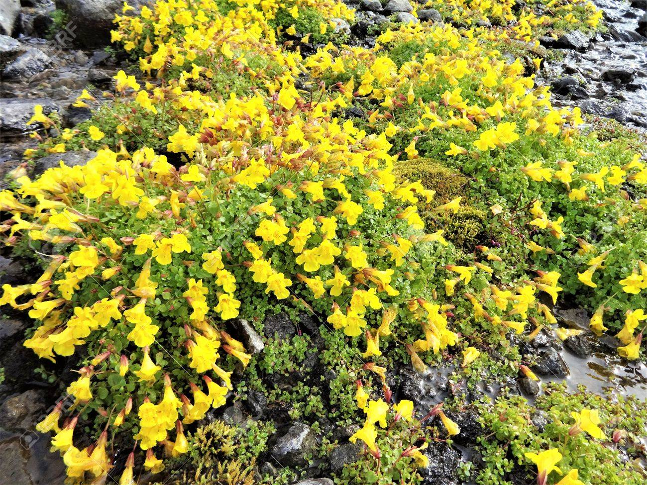 Wild Yellow Monkey Flowers Bloom At The Side Of An Alpine Stream
