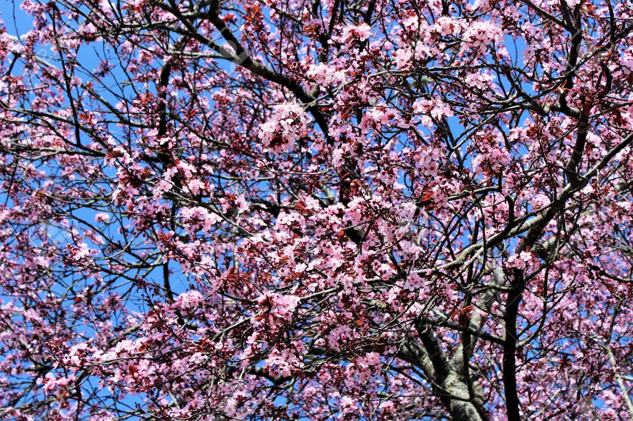 Purple Leaf Plum Tree Flowers Blossom In Early Spring Stock Photo