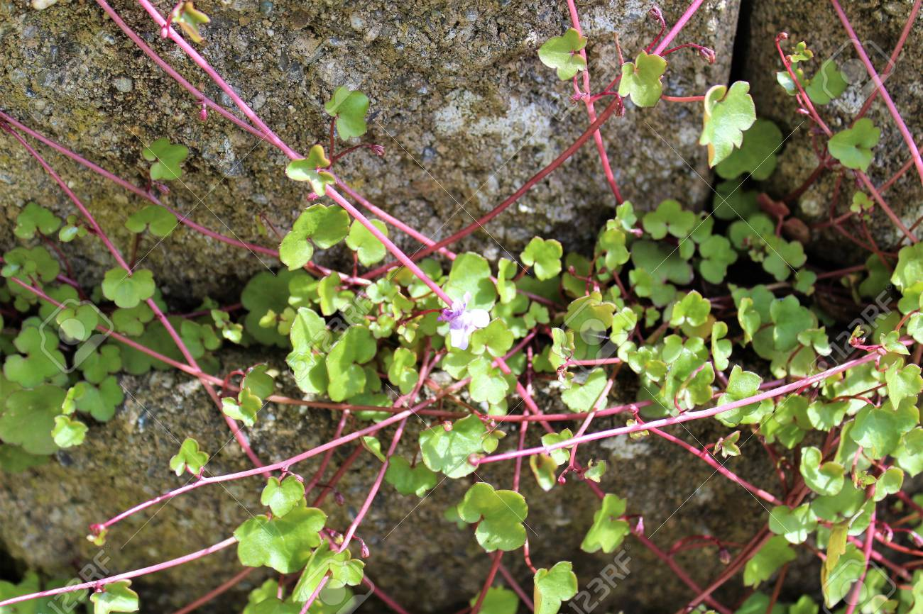 Small Purple Flower Groundcover Spreads Its Vine At A Brick Wall