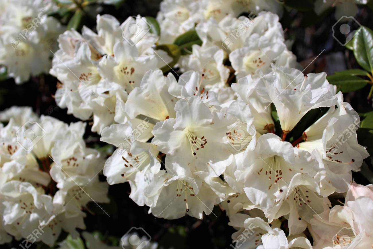 White Rhododendron Flowers Bloom In The Spring Sunshine Stock Photo