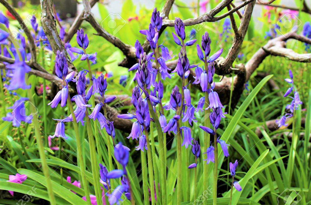 Blueish Bell Flowers Bloom In Late Spring Stock Photo Picture And