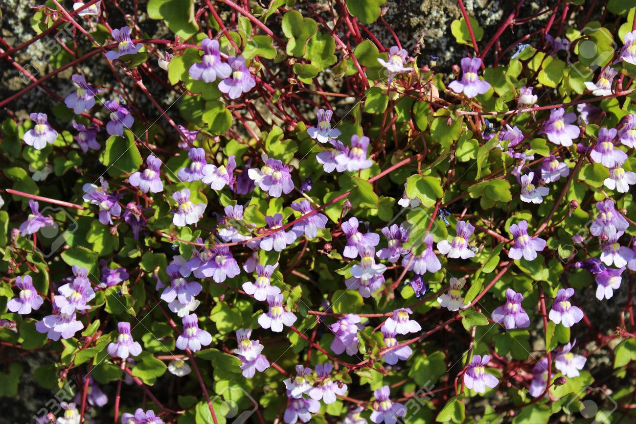 Tiny Purple Flowers Bloom Vine Plant In Late Spring Stock Photo
