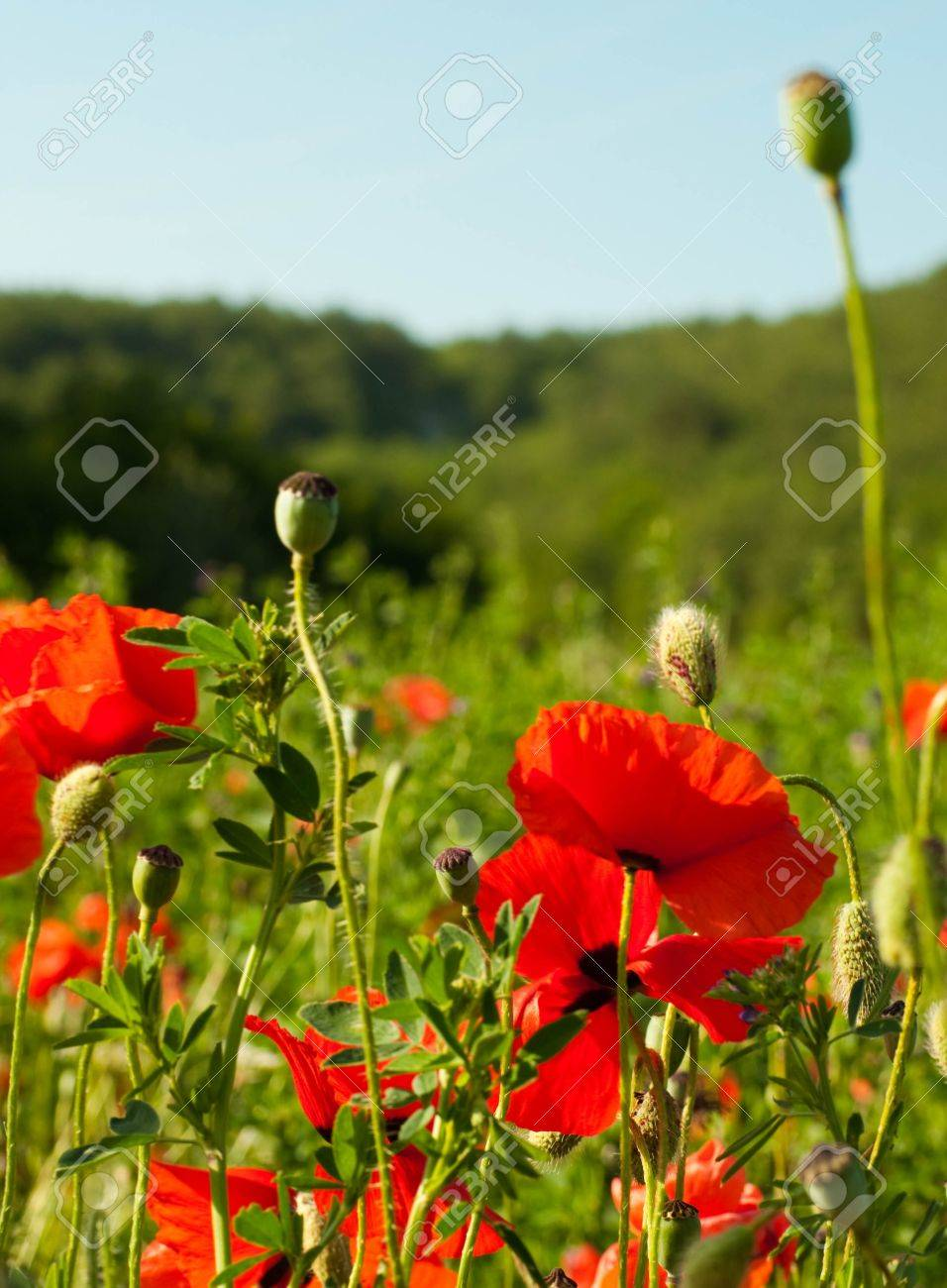 The red poppies on green field, a summer flower Stock Photo - 13911904