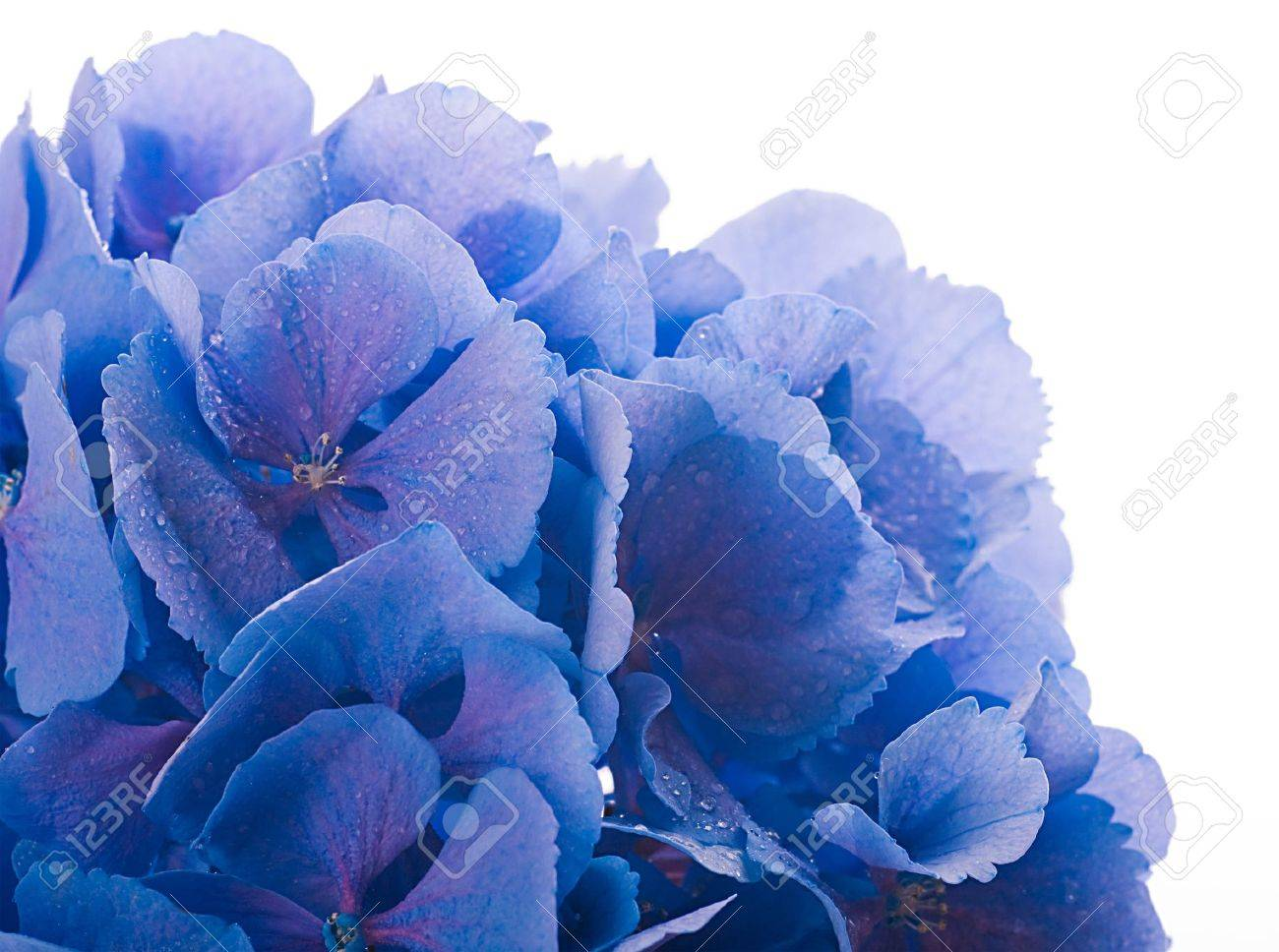 Flowers in a bouquet blue hydrangeas and white flowers stock photo flowers in a bouquet blue hydrangeas and white flowers stock photo 15553284 mightylinksfo